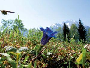 Foto einer Enzian Blume, im Hintergrund das Gebirge